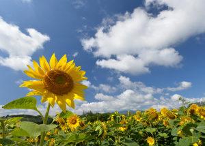 世界の国花*・゜゚・*:.。..。.:*・🌼「ヒマワリ」