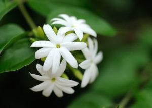 世界の国花*・゜゚・*:.。..。🌼「マツリカ」