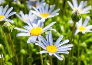 世界の国花*・゜゚・*:.。..。.:*🌼「デイジー」