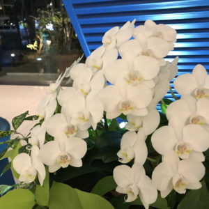 エントランスに胡蝶蘭を飾る理由
