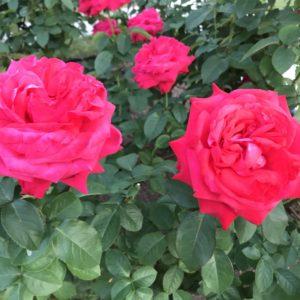 季節のお花*・゜゚・*:.。..。.:秋の薔薇🌹