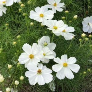 季節のお花  コスモス